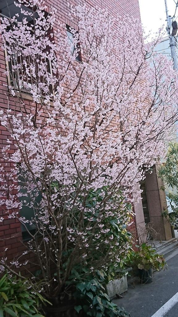 菁文堂近くの桜